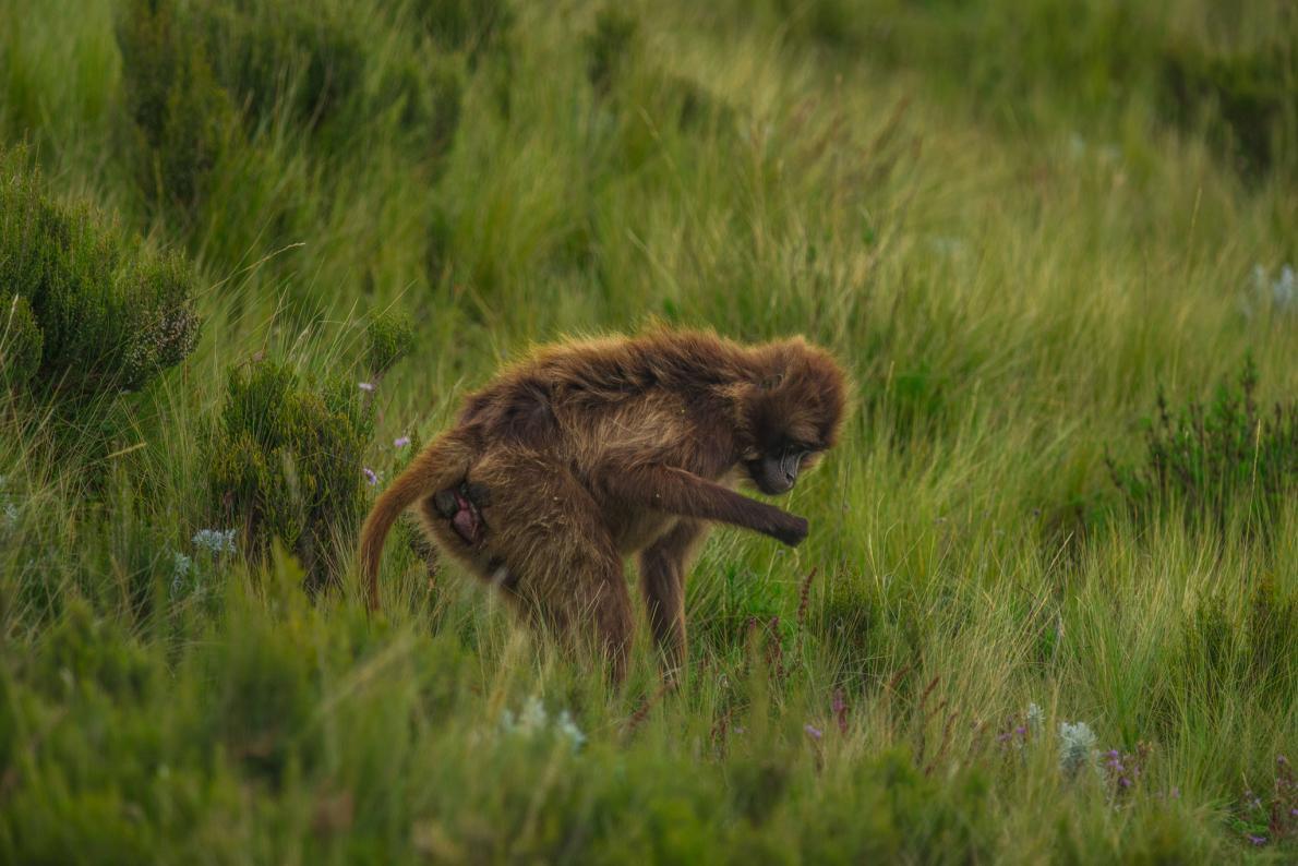 01-gelada-baboon-birth.adapt.1190.1.jpg