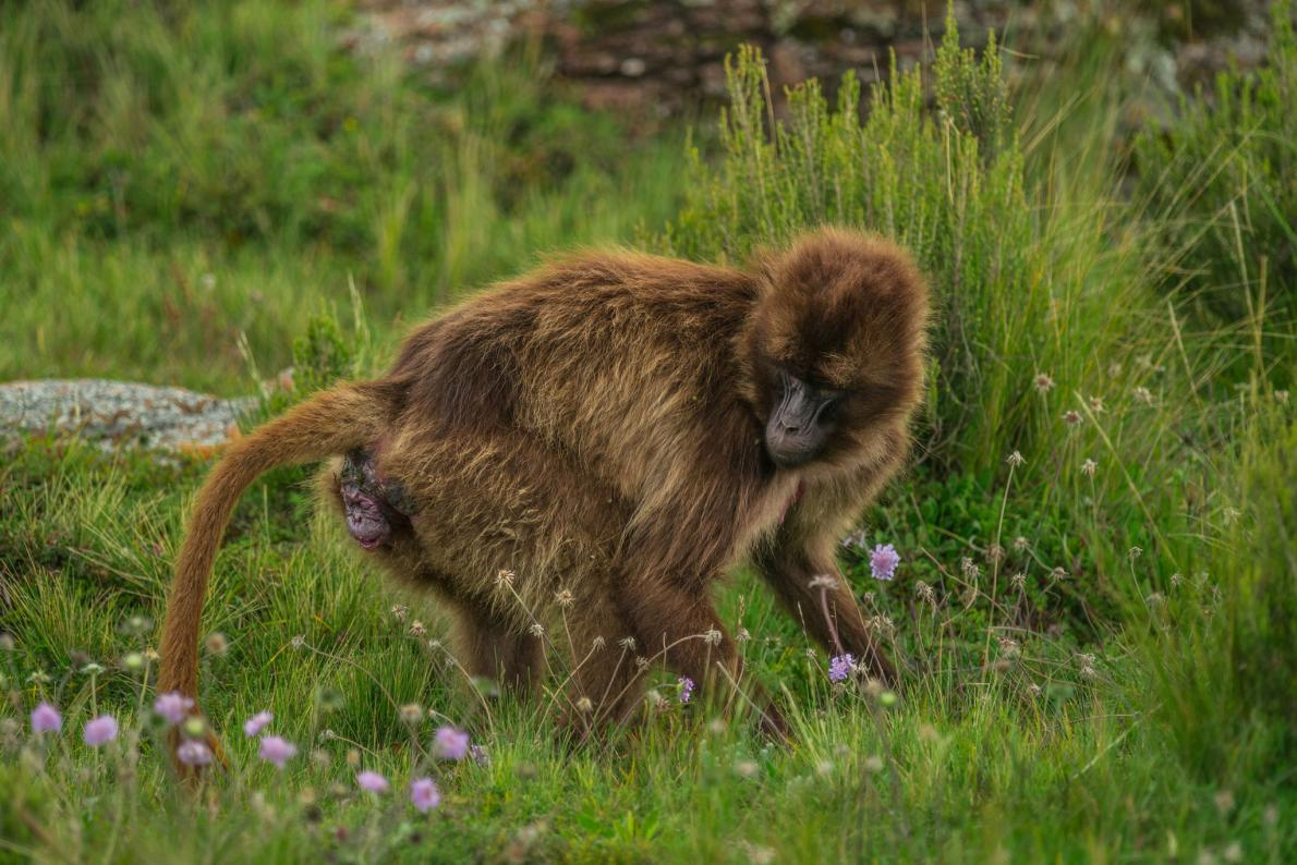 04-gelada-baboon-birth.adapt.1190.1.jpg