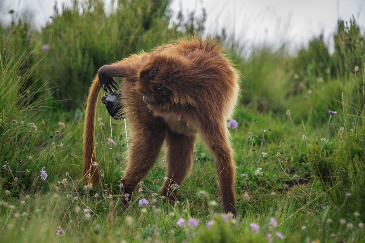 05-gelada-baboon-birth.adapt.1190.1.jpg