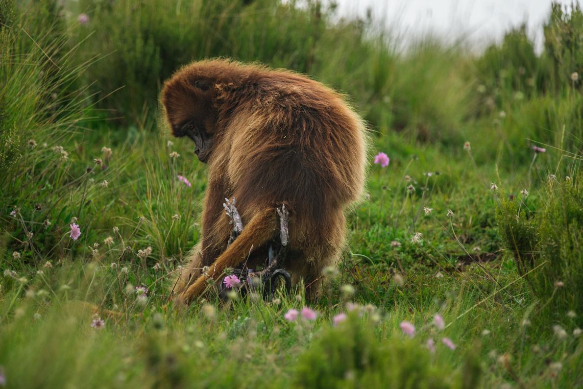 06-gelada-baboon-birth.adapt.1190.1.jpg