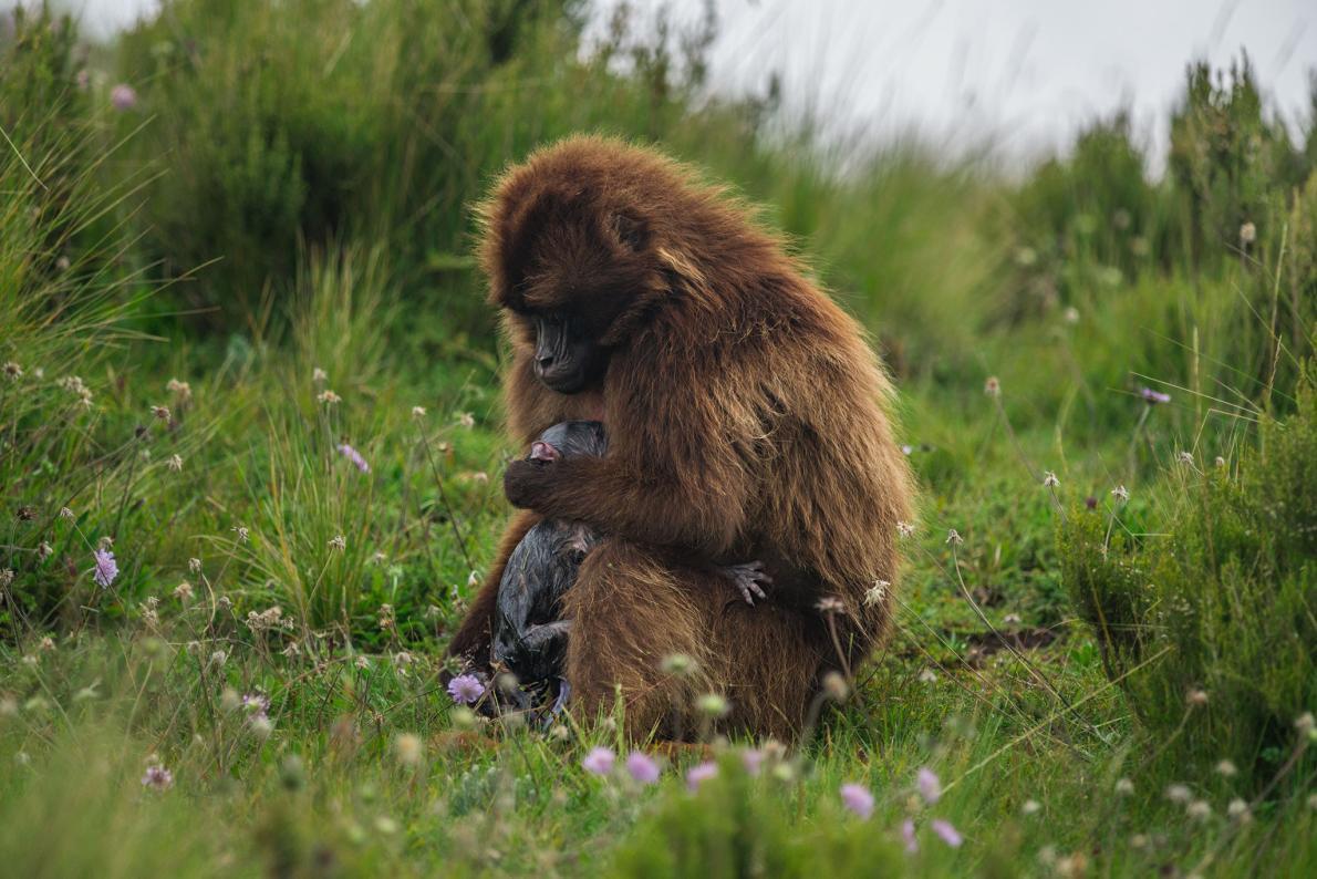 07-gelada-baboon-birth.adapt.1190.1.jpg