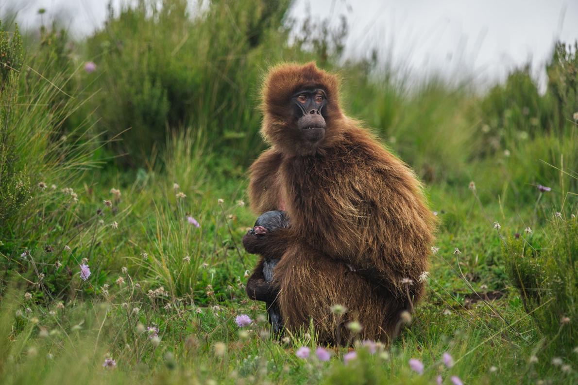 08-gelada-baboon-birth.adapt.1190.1.jpg