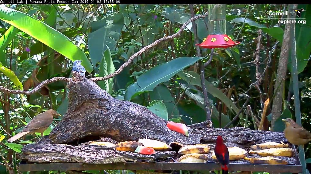 2019-01-02 13_55_38-Panama Fruit Feeder Cam at Canopy Lodge.jpg