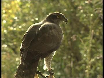 605846174-goshawk-flying-away-keeping-of-animals-observing.jpg
