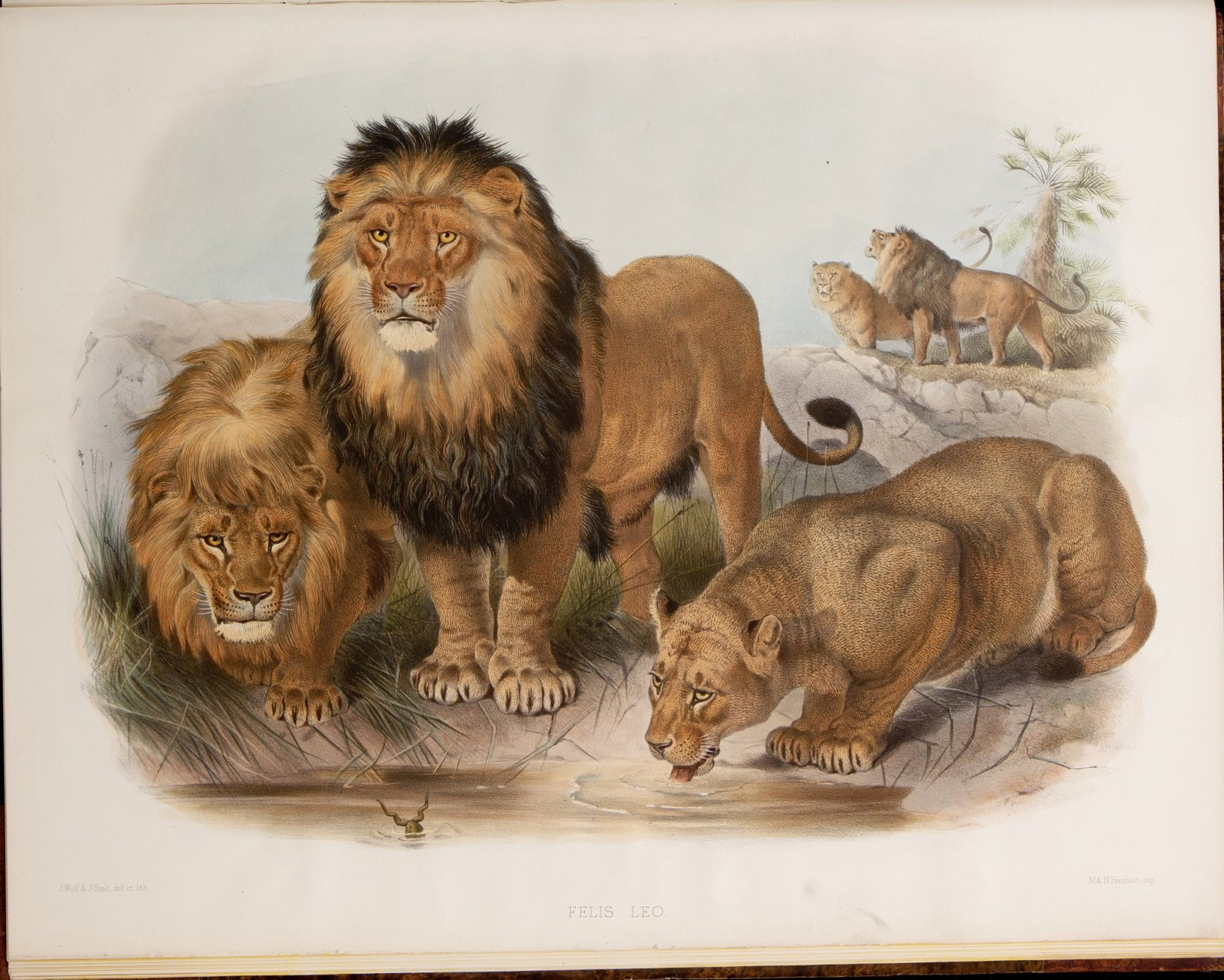 A_monograph_of_the_Felidae_or_family_of_the_cats.By_Daniel_Giraud_Elliot-Image-002.jpg