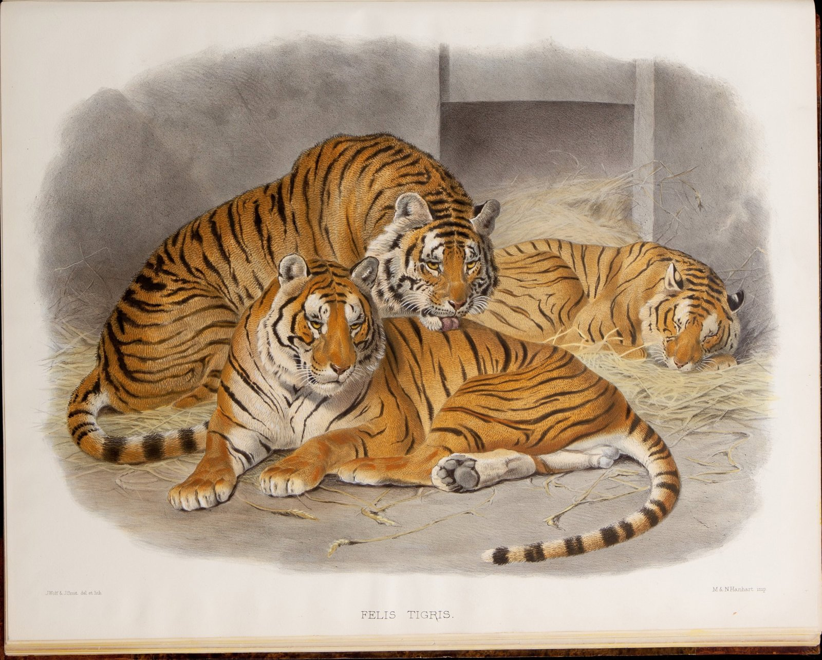 A_monograph_of_the_Felidae_or_family_of_the_cats.By_Daniel_Giraud_Elliot-Image-004.jpg