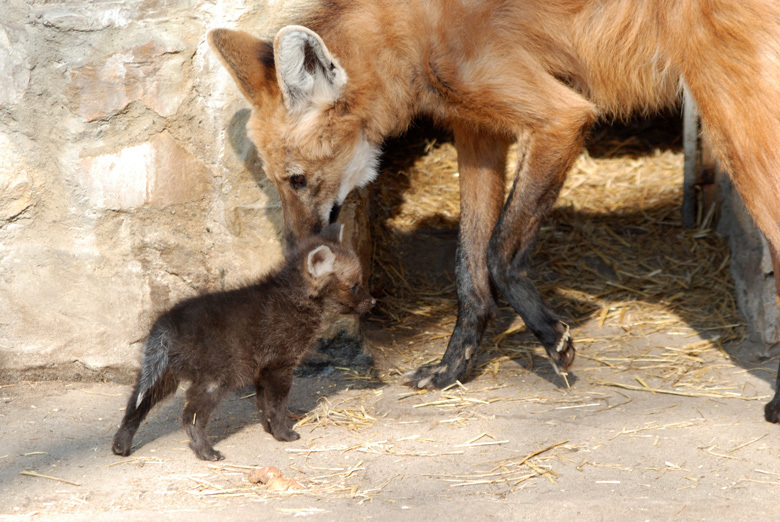 adult-maned-wolf-with-a-pup-wolves-22383307-780-522.jpg