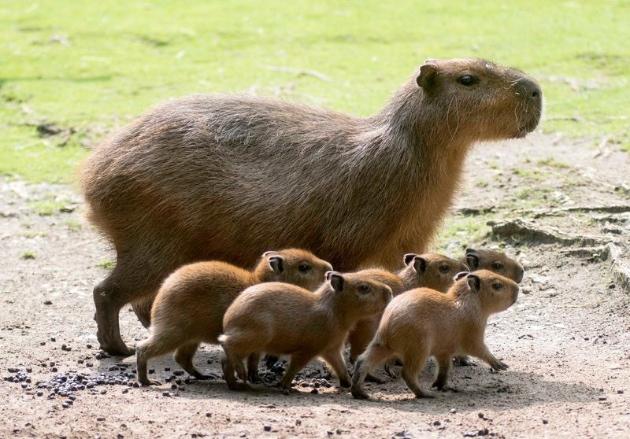 baby-capybaras-630x439.jpg