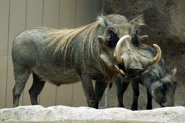 Blonde Warthog.jpg