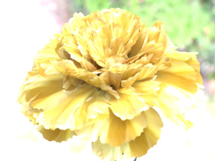 Carnation - Sunshine.png