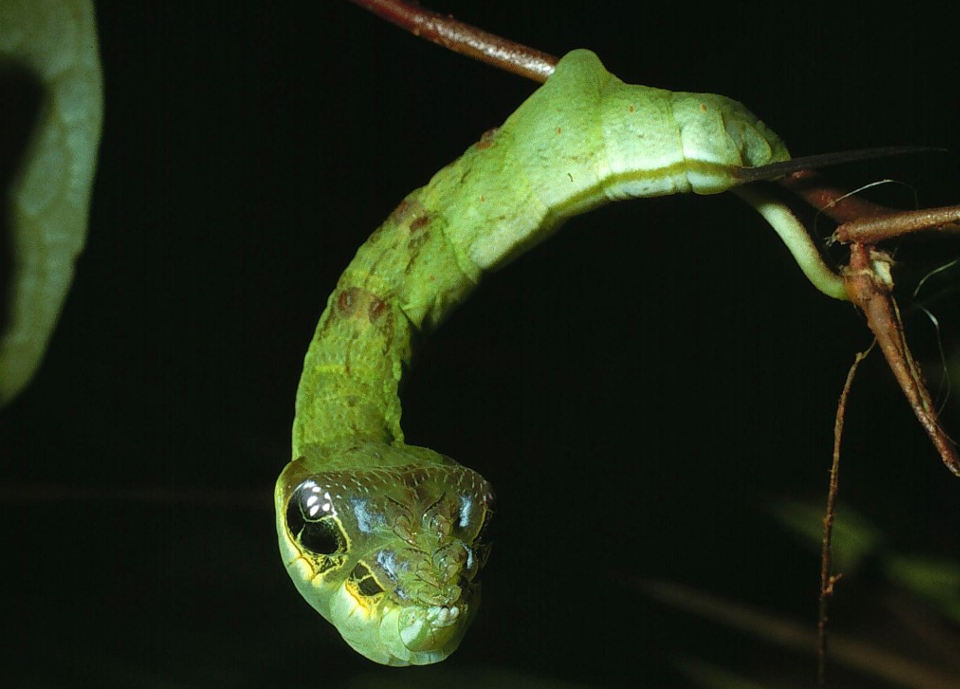 CATERS_snake_caterpillar_06-1024x971.jpg