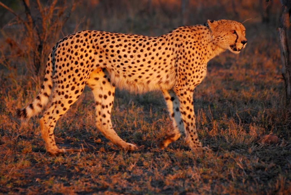 Cheetah_Umfolozi_SouthAfrica_MWegmann_small.jpg