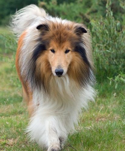 collie-dog.jpg