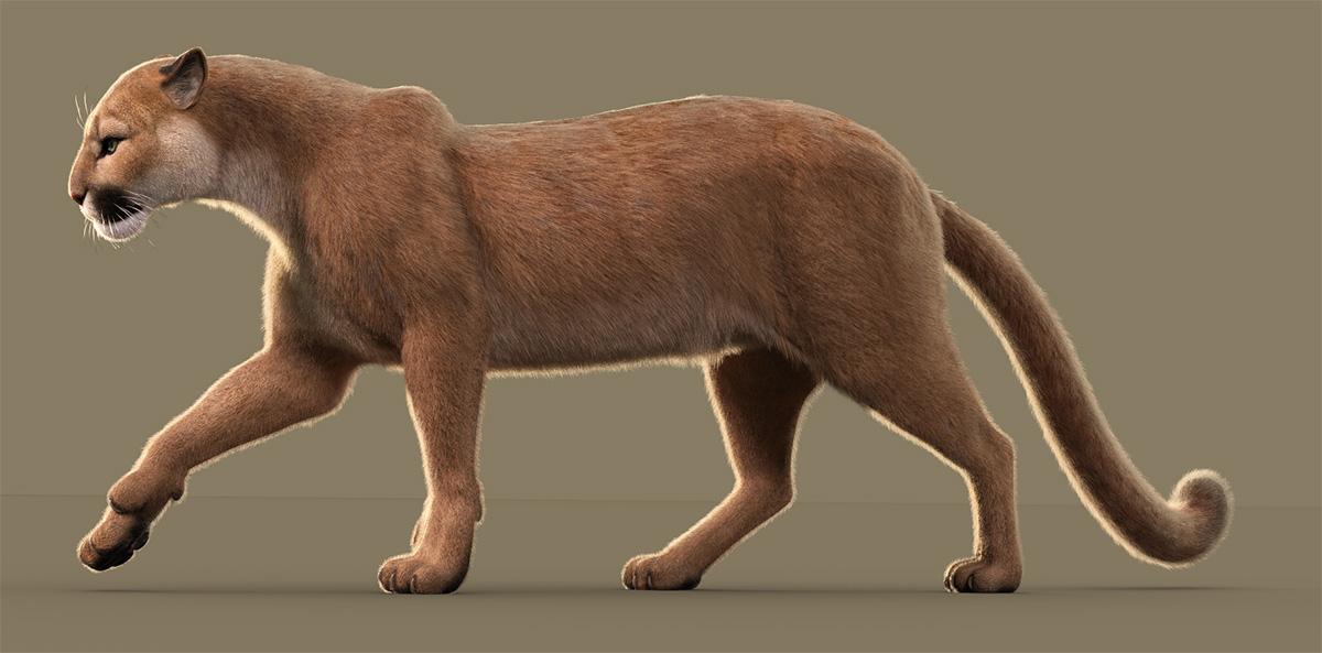 Cougar-LAMH-WIP-2.jpg