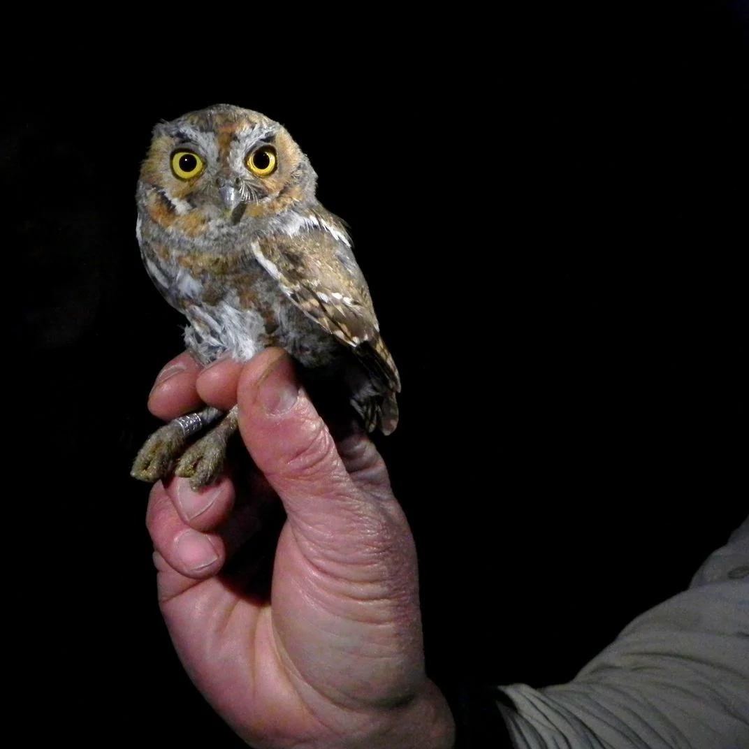 Elf-owl-efac80.jpg