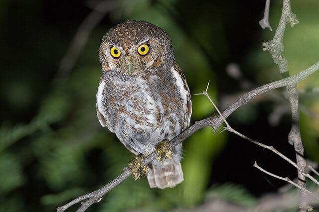 Elf owl (Micrathene whitneyi).jpg