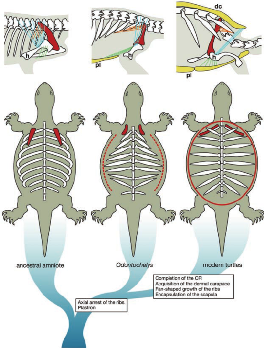 Evolution-of-the-turtle-body-plan-Top-A-hypothetical-sequence-of-changes-in.png