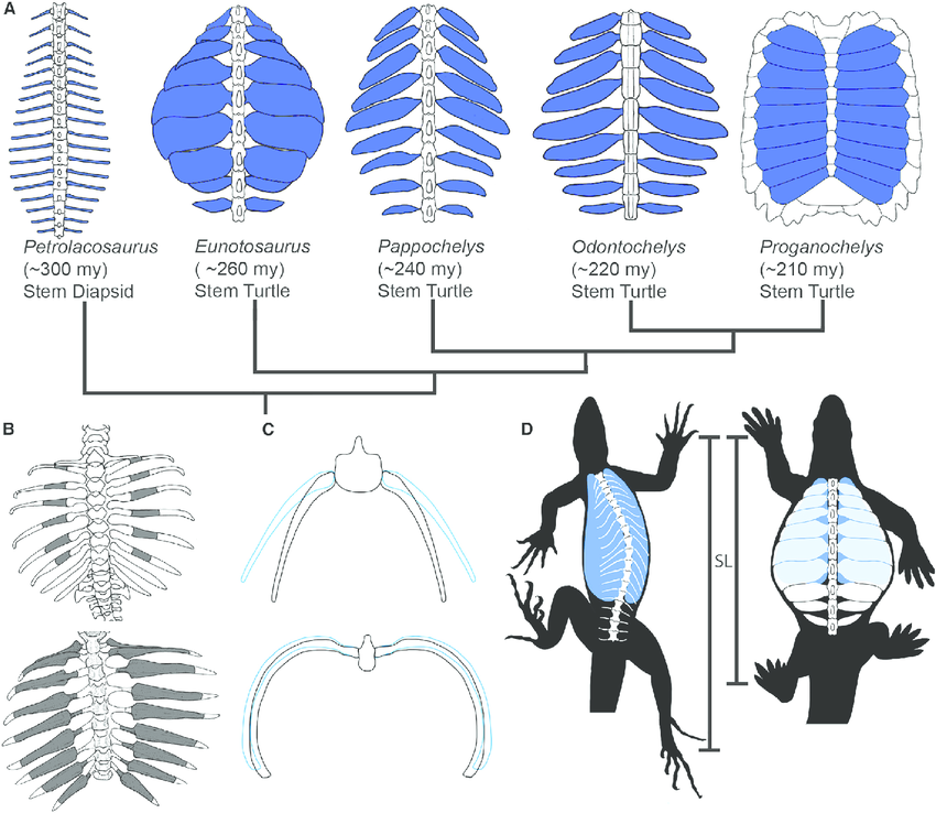 Evolution-of-the-Turtle-Shell-and-Its-Associated-Respiratory-and-Locomotory-Constraints.png