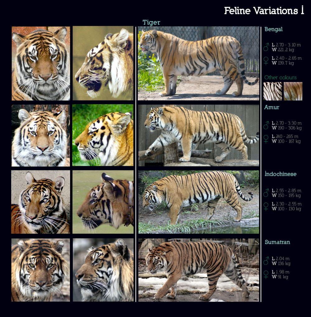 feline_variations_i__tiger_by_sindos-d2l83g2_small.jpg