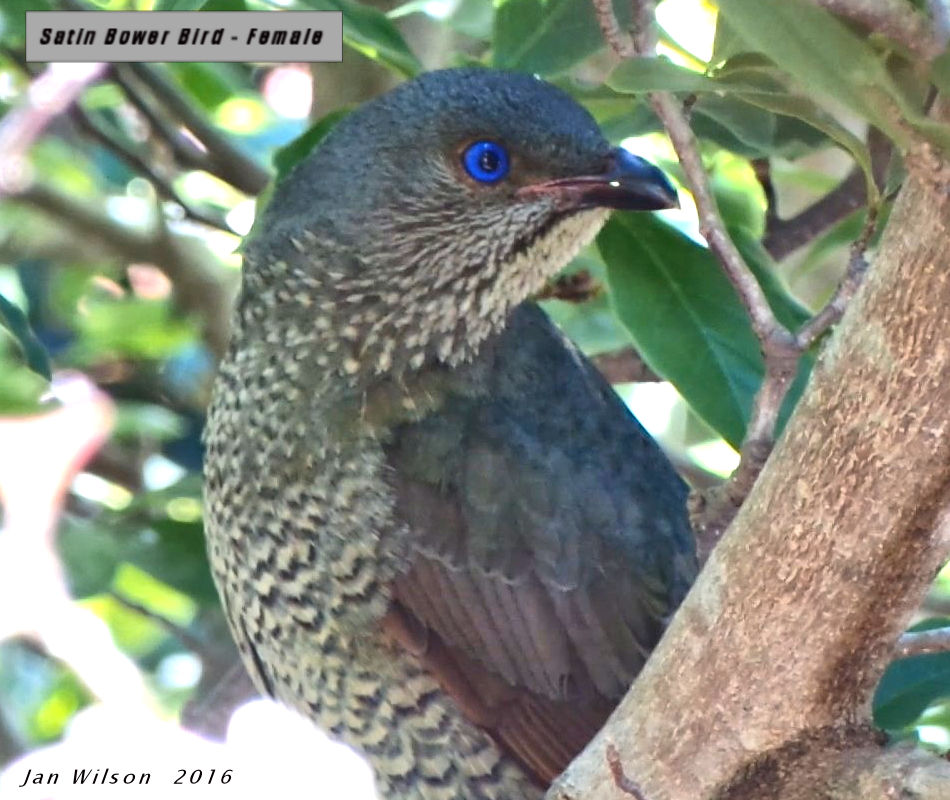 Female Satin Bowerbird7a.jpg