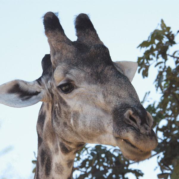 GiraffeCU.jpg