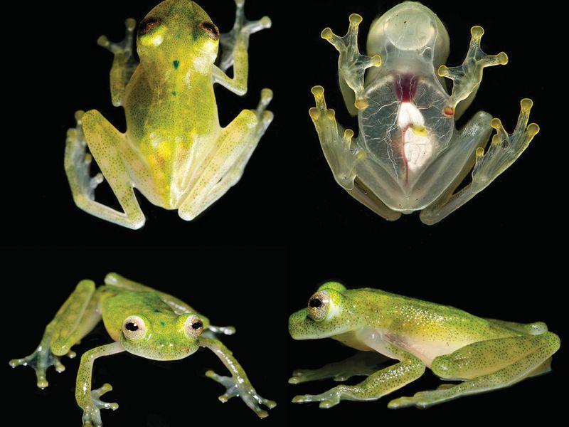 glass_frog.jpg