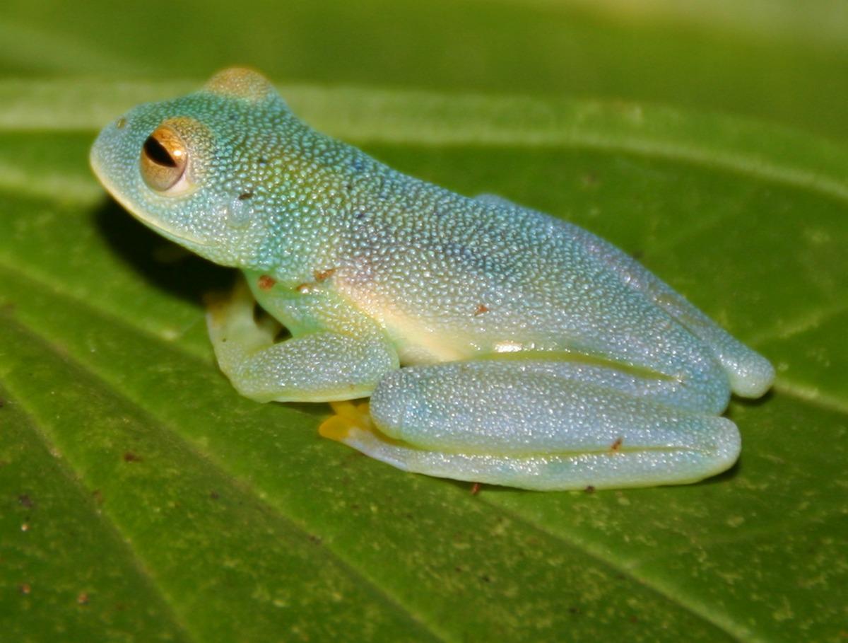 Glass_frog_Cochranella-granulosa-e1415939130740_small.jpg
