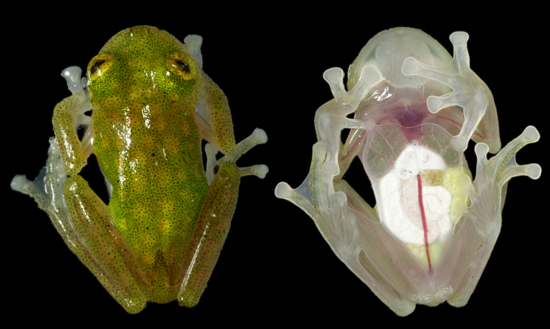 glassfrog_hyalinobatrachiumtaylori_small.jpg