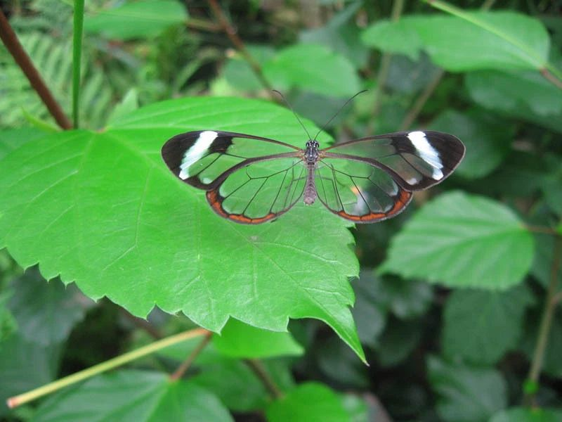 glasswing-butterfly.jpg