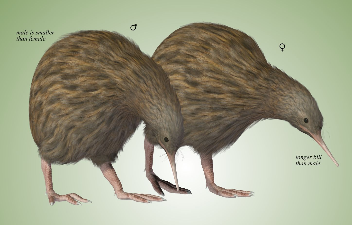 Greater Spotted Kiwis.jpg