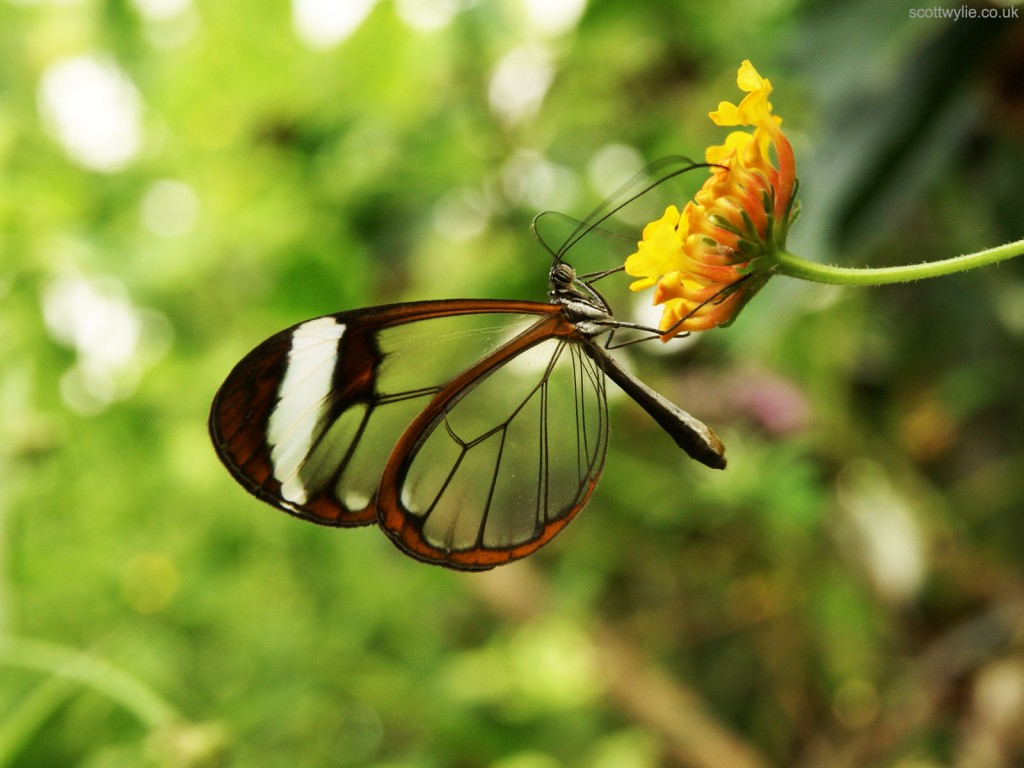 Greta_Oto_Glasswing_Butterfly_5469322851-1024x768.jpg