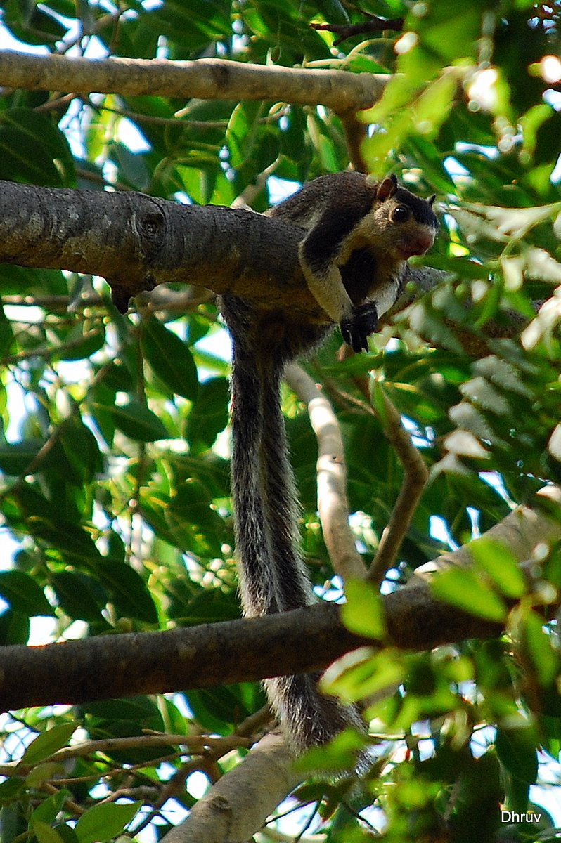 Grizzled_Giant_Squirrel_(Ratufa_macroura).jpg