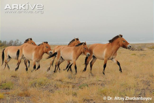 Group-of-male-Przewalskis-horses-on-the-move.jpg