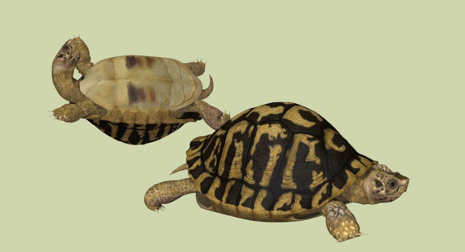 Herrman's Tortoise.jpg