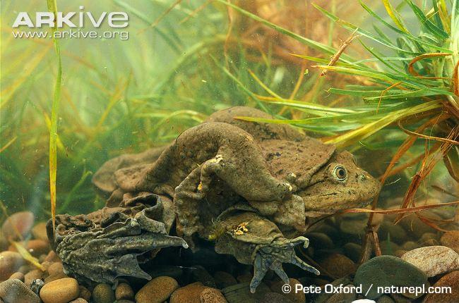 Lake-Titicaca-frog.jpg
