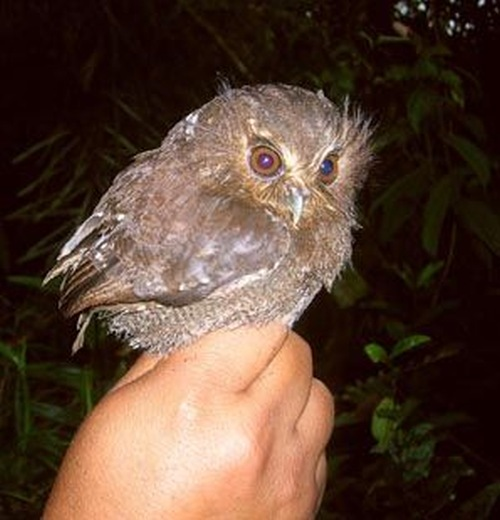Long-whiskered owlet 3e770f8d23657343.jpg