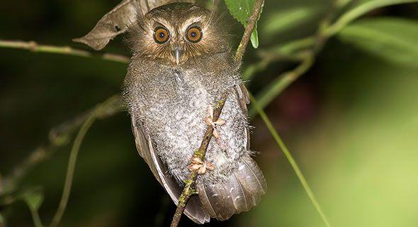 Long-whiskered owlet (Xenoglaux loweryi).jpg