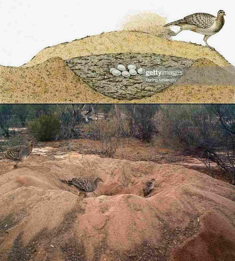 Malleefowl Nest Mounds.jpg