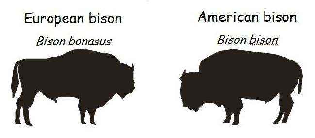poland-zubr-wisent-european_bison-drawing1.jpg