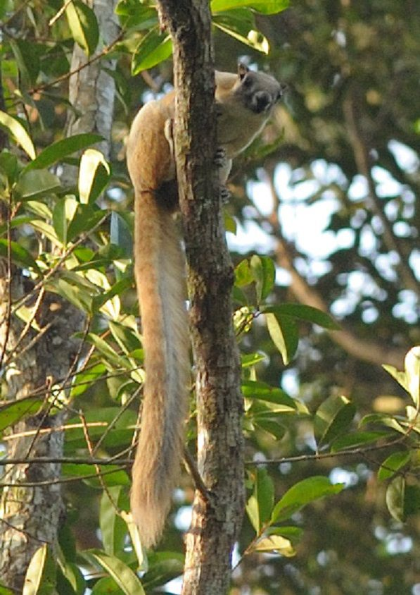 Ratufa affinis.jpg