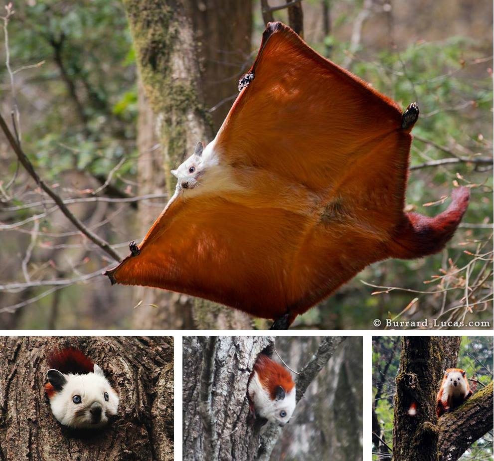 Red_and_White_Giant_Flying_Squirrel.jpg