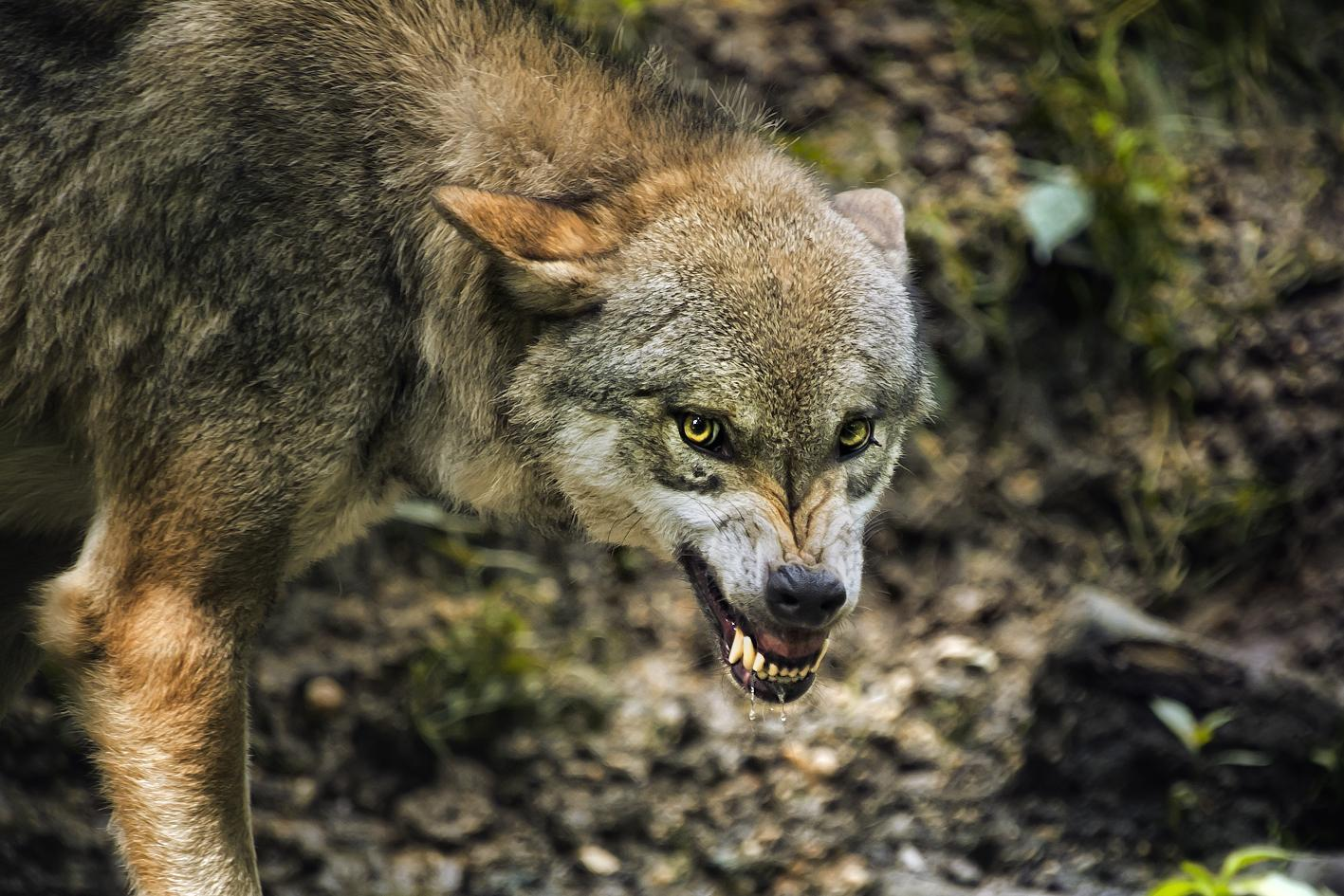 snarling-wolf-images.jpg