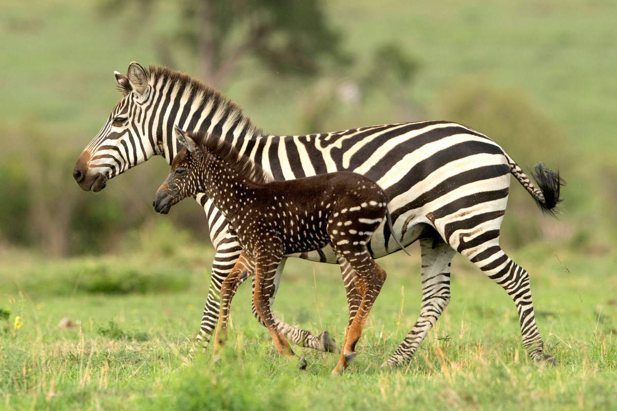 spotted_zebra_baby small.jpg