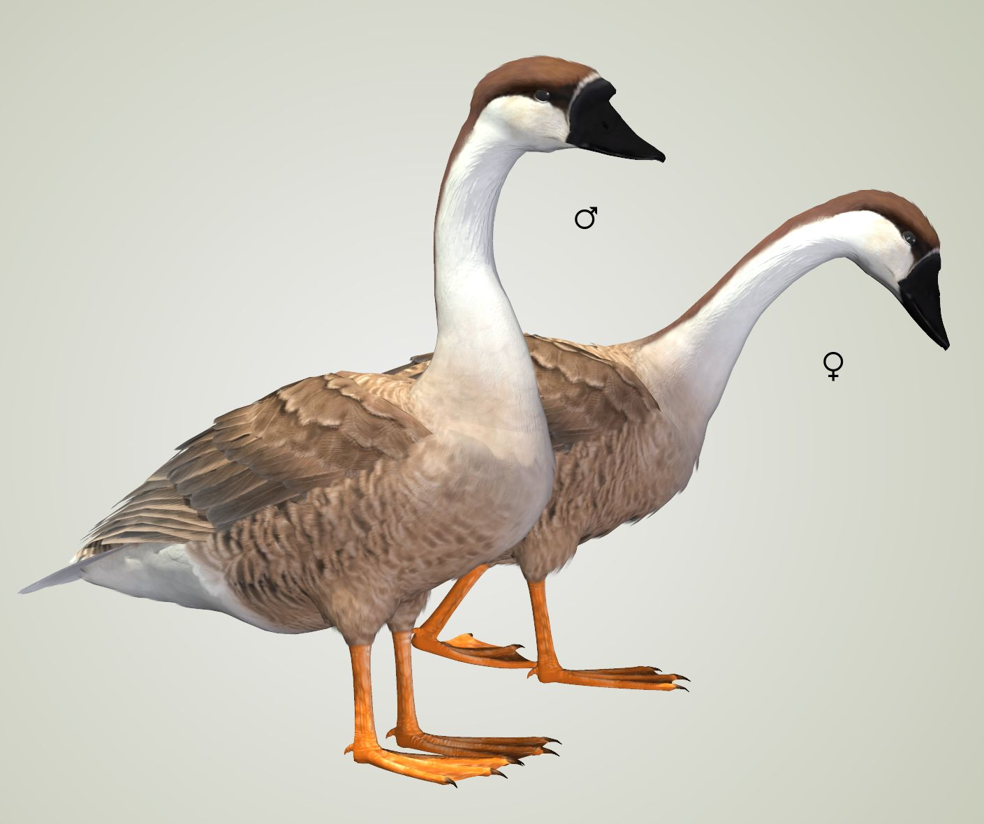 Swan Goose.jpg