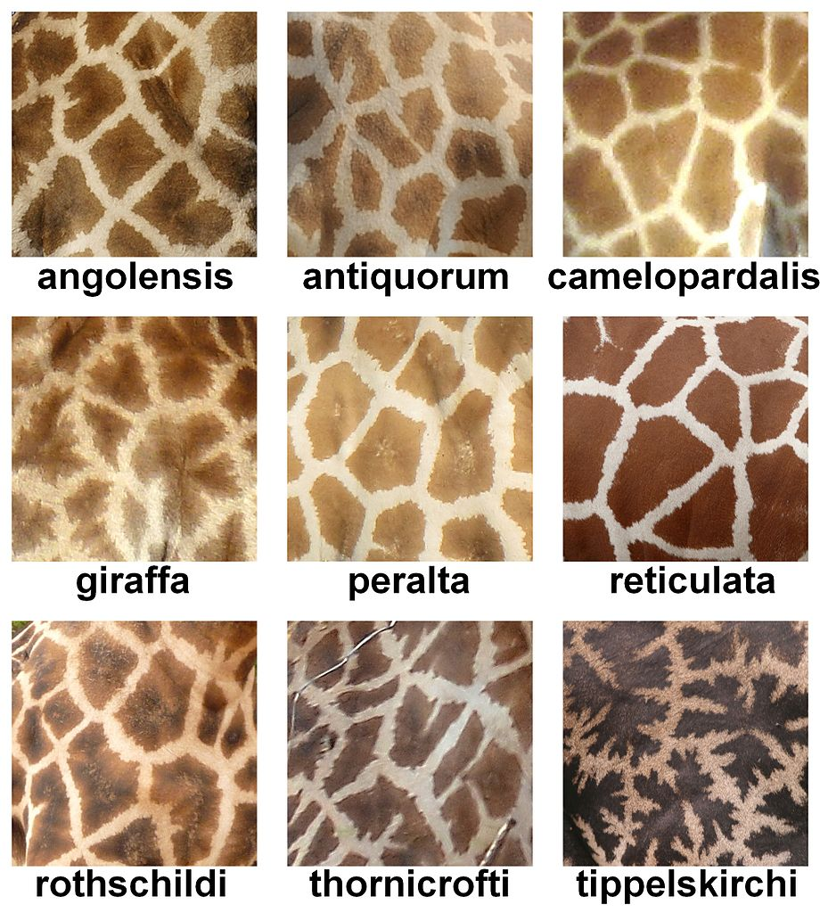 The_fur_pattern_of_all_nine_Giraffa_camelopardalis_subspecies.jpg