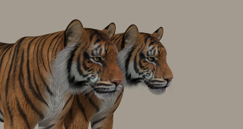 Tiger Dyna 1.jpg