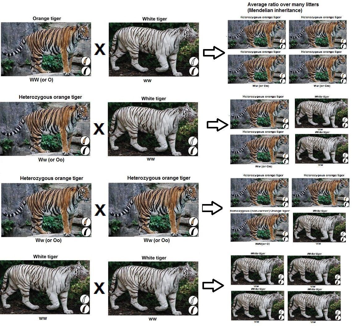 tiger-mendelian-charts.jpg