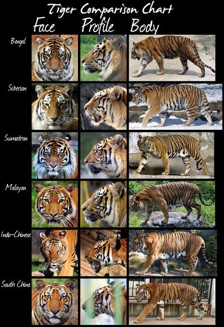 tiger_comparisons_huge_file_by_i_am_chaos-d3khcd8.jpg