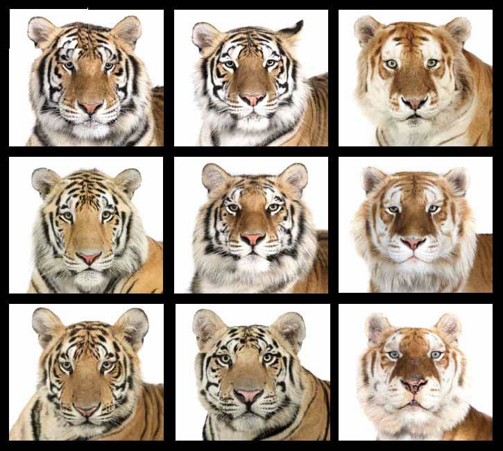 tigergrid.jpg