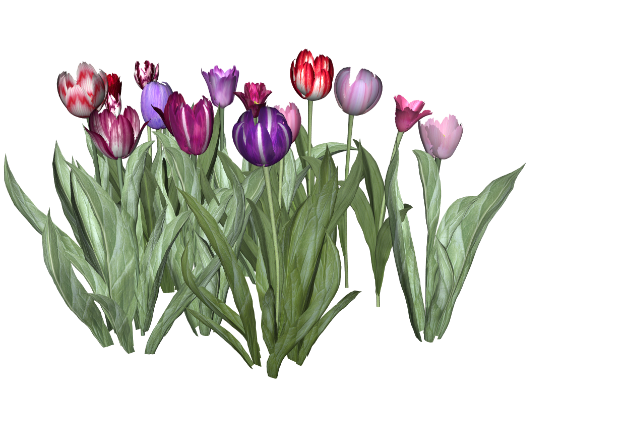Tulip variety.png